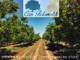 Chandler -Fernor Walnut Saplings (Tree) - photo 8