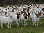 Livestock, ox gallstone and ostrich chicks - photo 2